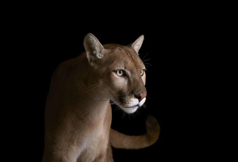 Brad Wilson, 'Mountain Lion #4, Los Angeles, CA', 2011, Photography, Archival Pigment Print, photo-eye Gallery