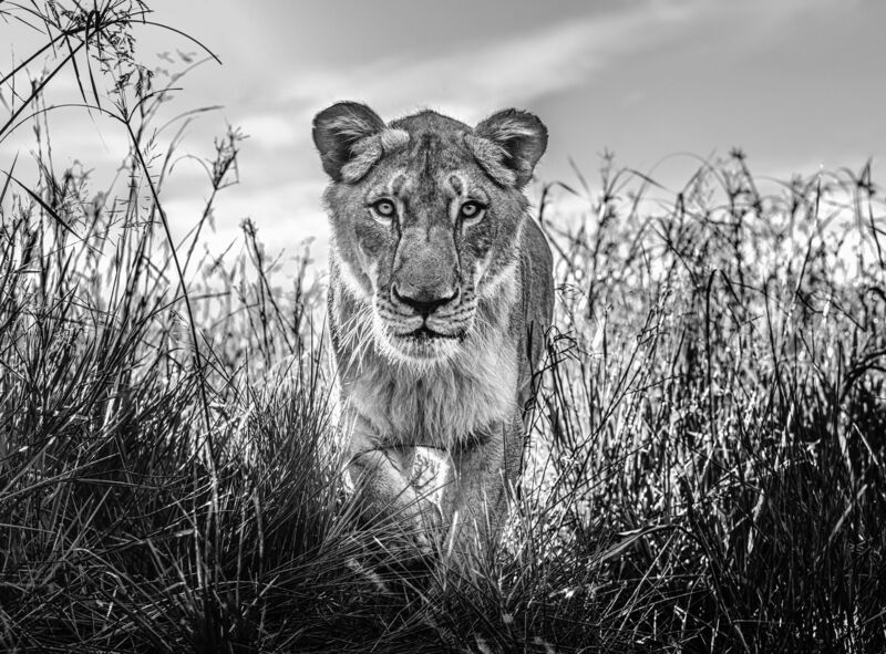 David Yarrow, 'The Hunter', 2020, Photography, Museum Glass, Passe-Partout & Black wooden frame, Leonhard's Gallery
