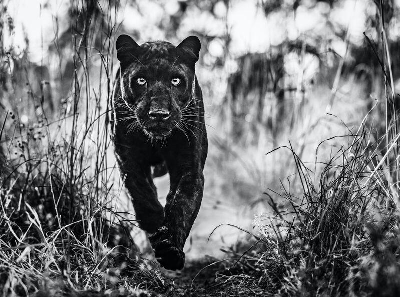 David Yarrow, 'Black Panther Returns ', 2019, Photography, Digital Pigment Print on Archival 315gsm Hahnemuhle Photo Rag Baryta Paper, Samuel Owen Gallery