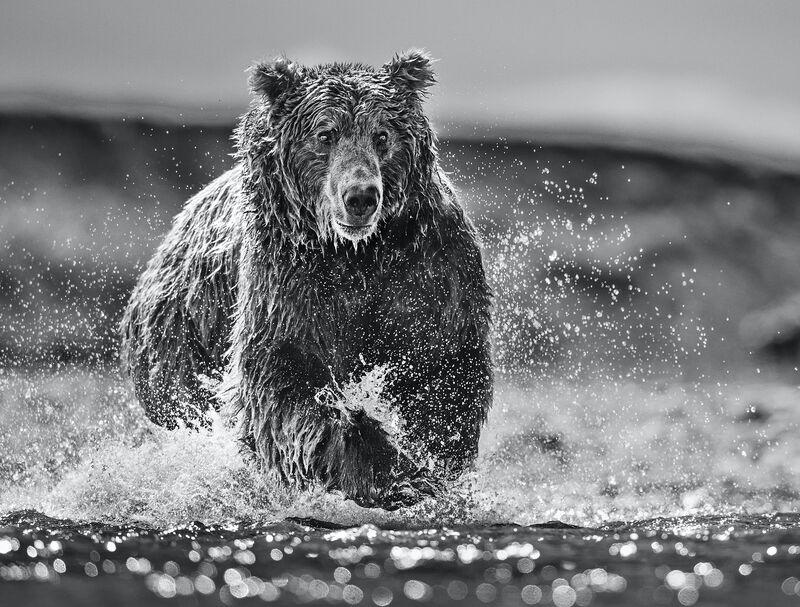 David Yarrow, 'The Happy Bear', 2017, Photography, Digital Pigment Print on Archival 315gsm Hahnemuhle Photo Rag Baryta Paper, Samuel Owen Gallery