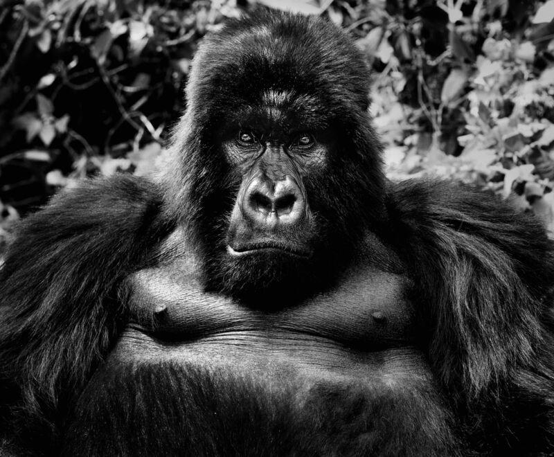 David Yarrow, 'King Kong', 2011, Photography, Digital Pigment Print on Archival 315gsm Hahnemuhle Photo Rag Baryta Paper, Samuel Owen Gallery