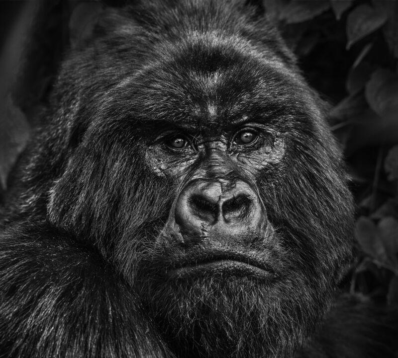 David Yarrow, 'Kong', 2019, Photography, Digital Pigment Print on Archival 315gsm Hahnemuhle Photo Rag Baryta Paper, Samuel Owen Gallery