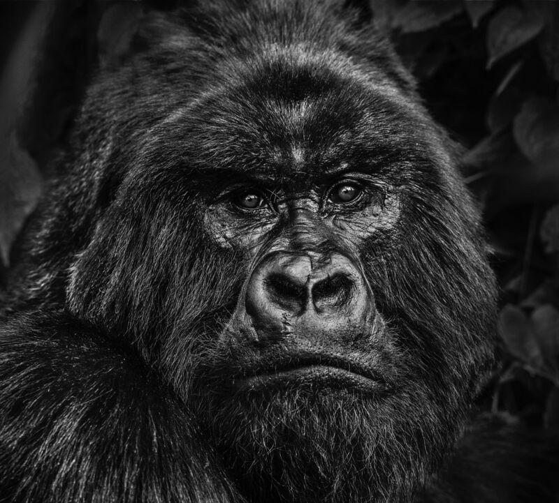 David Yarrow, ' Kong', 2020, Photography, Museum Glass, Passe-Partout & Black wooden frame, Leonhard's Gallery