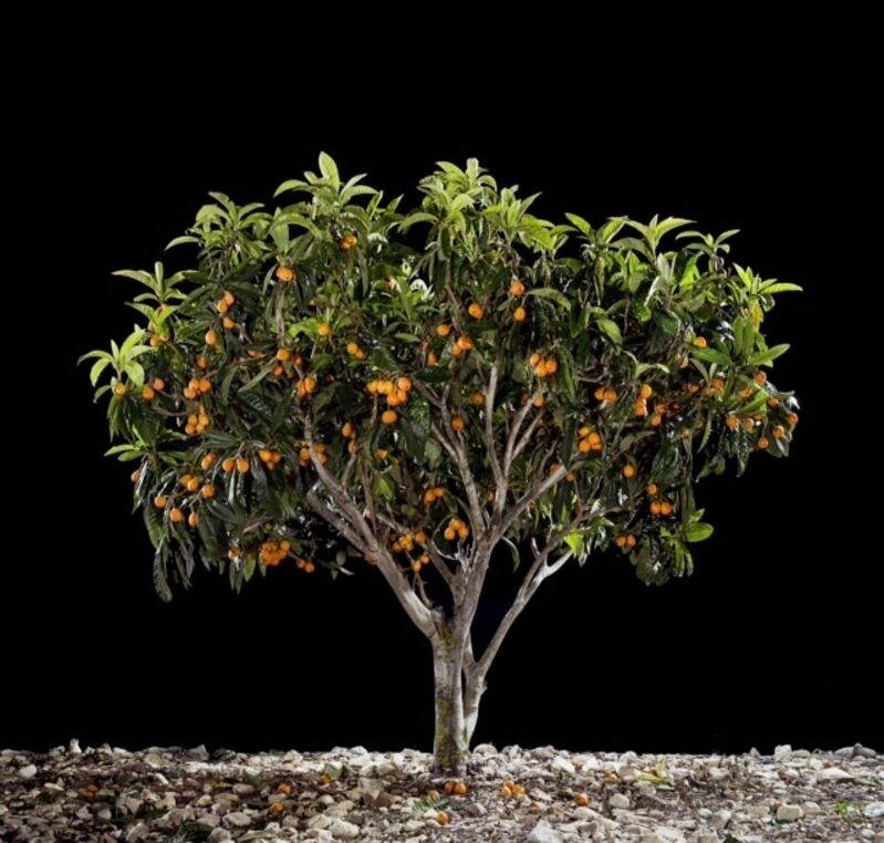 Tal Shochat, 'Loquat ', 2011, Photography, C-Print, Corridor Contemporary