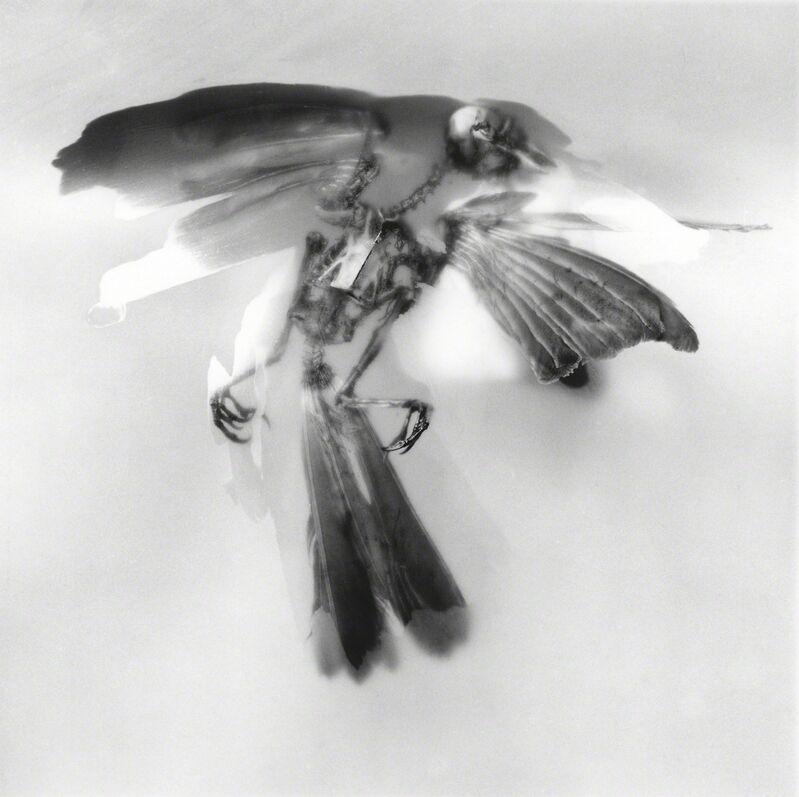 Rebecca Palmer, 'Painted Bird, from the series Meditations', 2012, Photography, Archival Pigment Print, Circuit Gallery