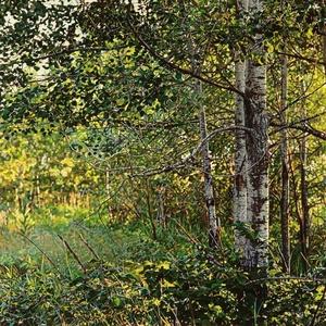 Thicket No. 40: Birches
