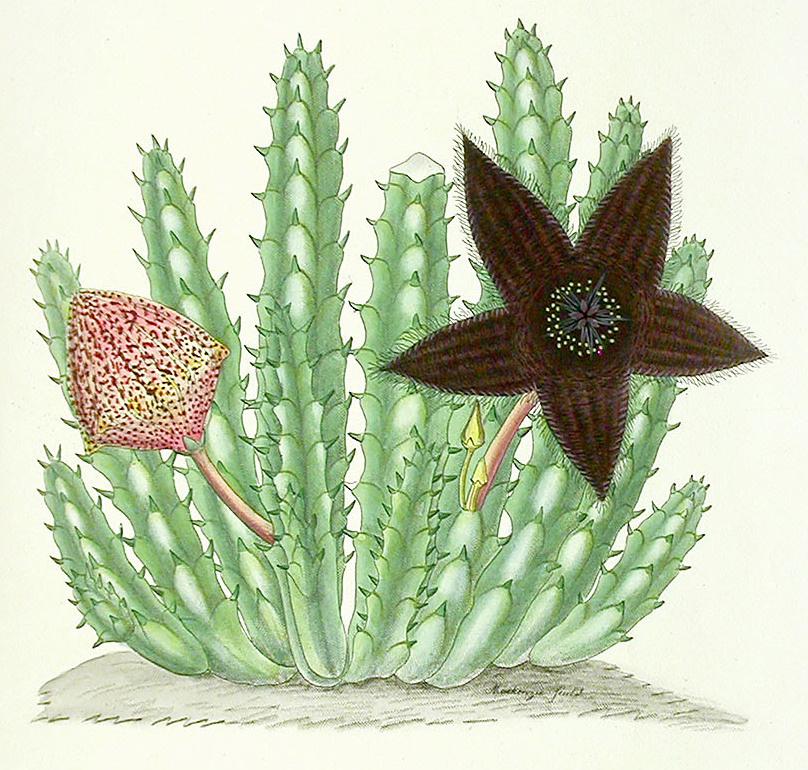 Francis Masson, Stapelia gemmiflora Masson, 1796.