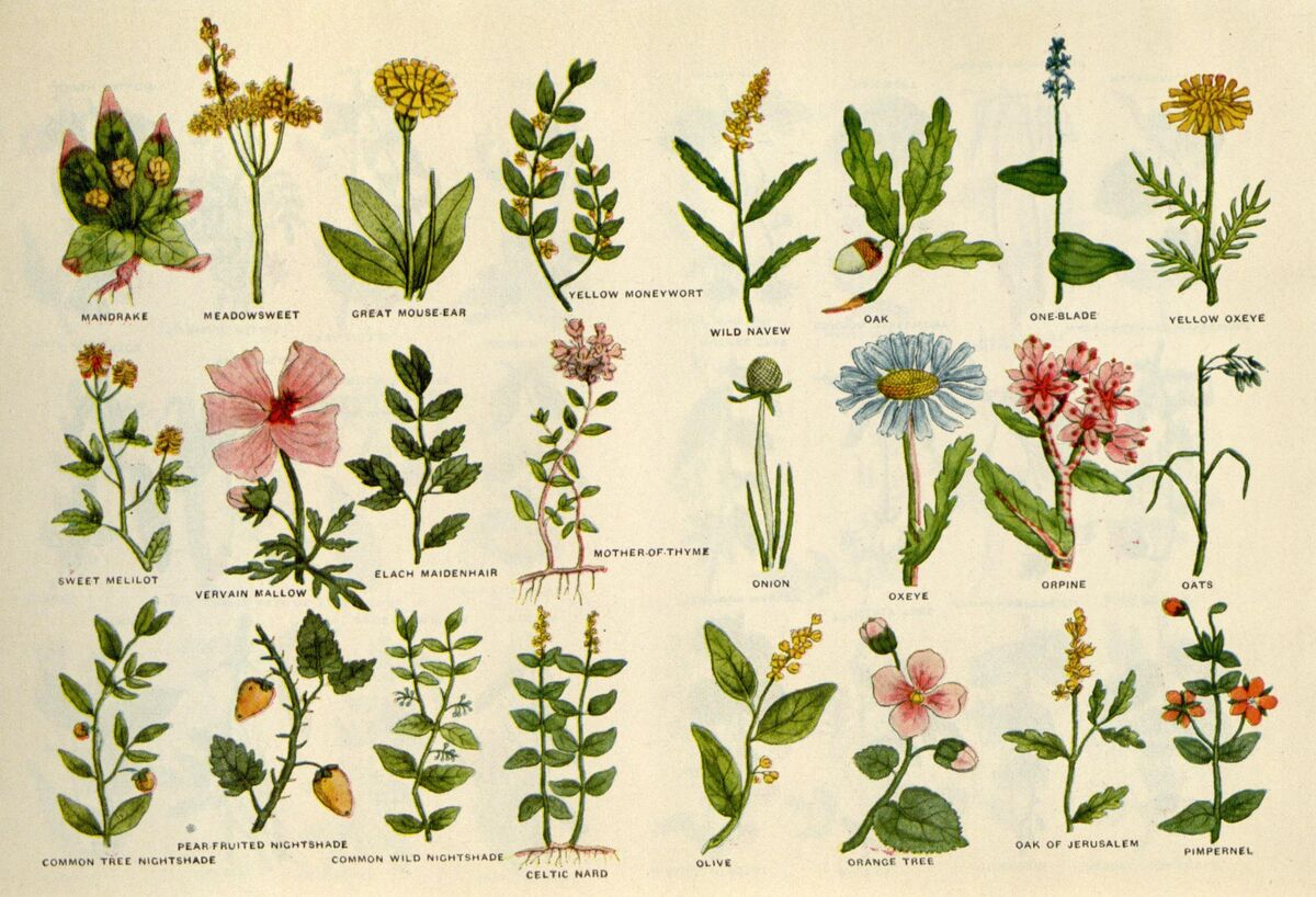 Culpeper's Complete Herbal, 1653, via Wikimedia Commons.