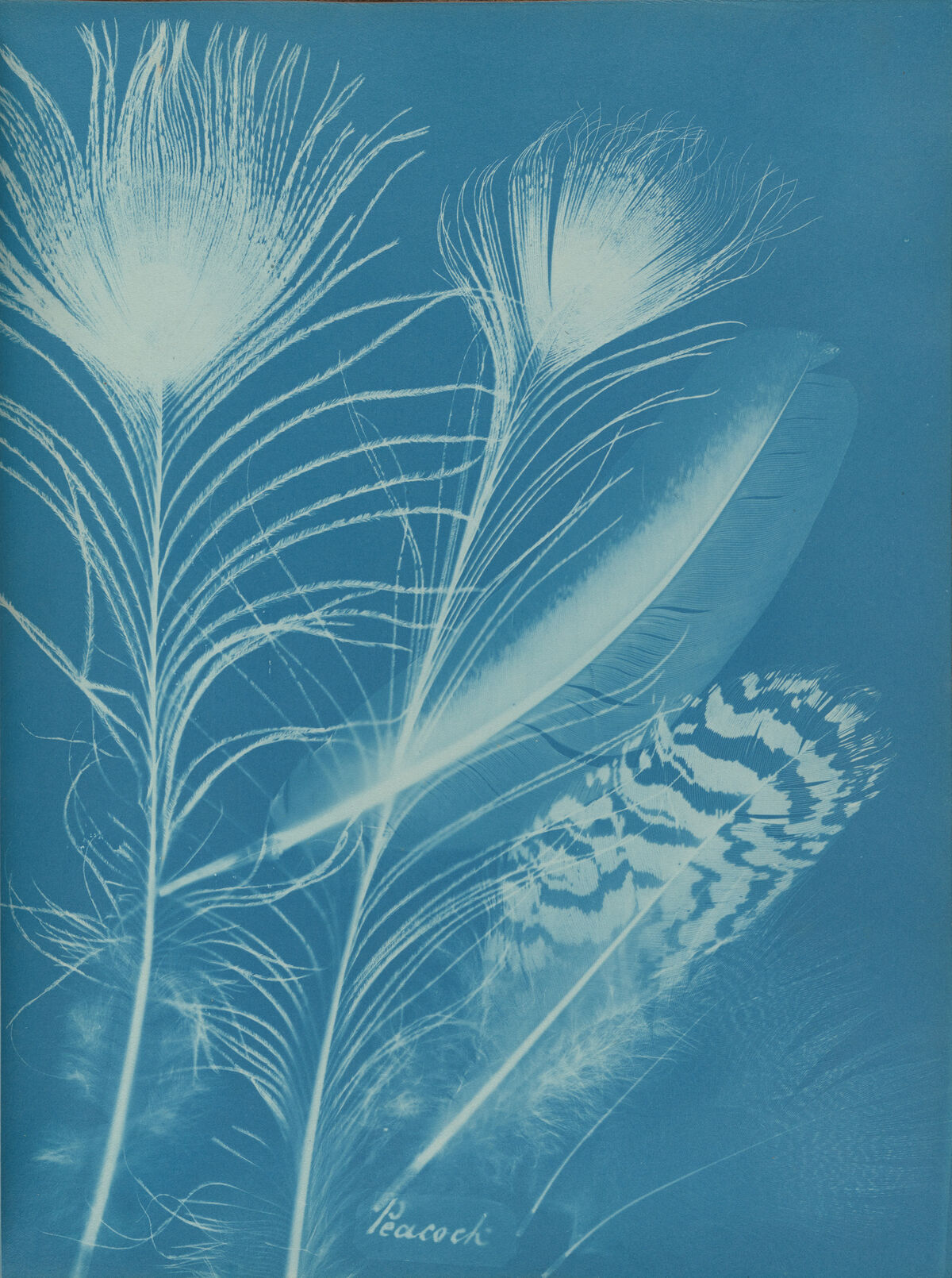 Anna Atkins and Anne Dixon, Peacock, 1861. Private collection. Courtesy of Hans P. Kraus, Jr.