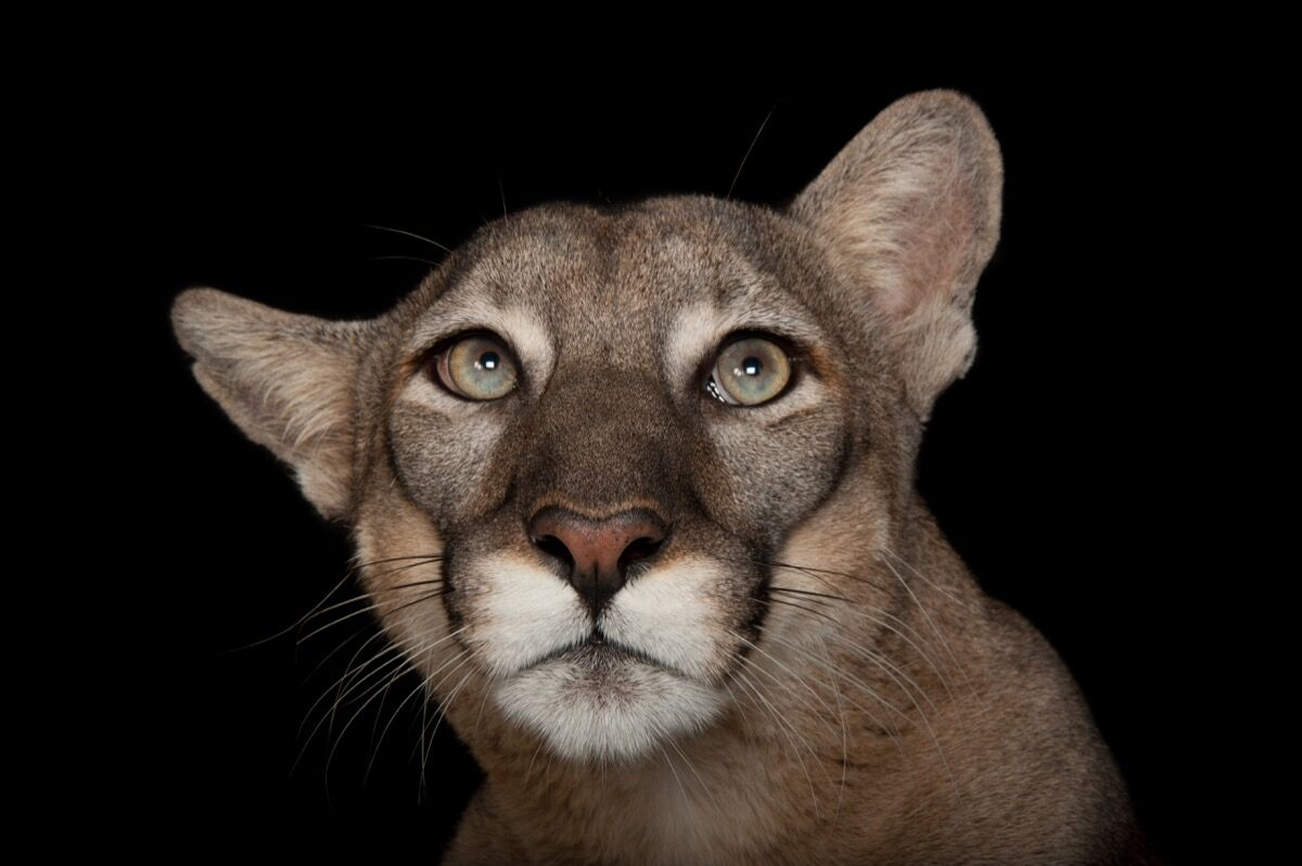 A federally endangered Florida panther, Puma concolor coryi, at Tampa's Lowry Park Zoo. Photo by Joel Sartore/National Geographic Photo Ark.