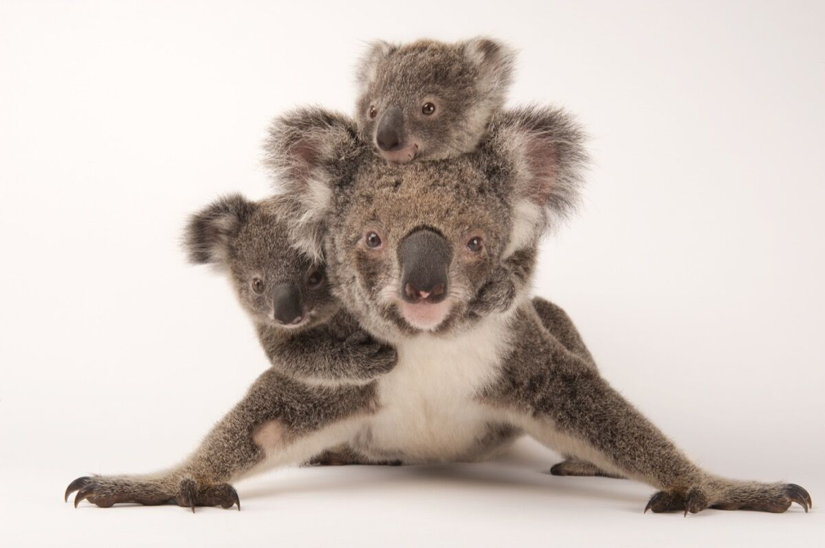 A federally threatened koala, Phascolarctos cinereus, with her babies at the Australia Zoo Wildlife Hospital. Photo by Joel Sartore/National Geographic Photo Ark.
