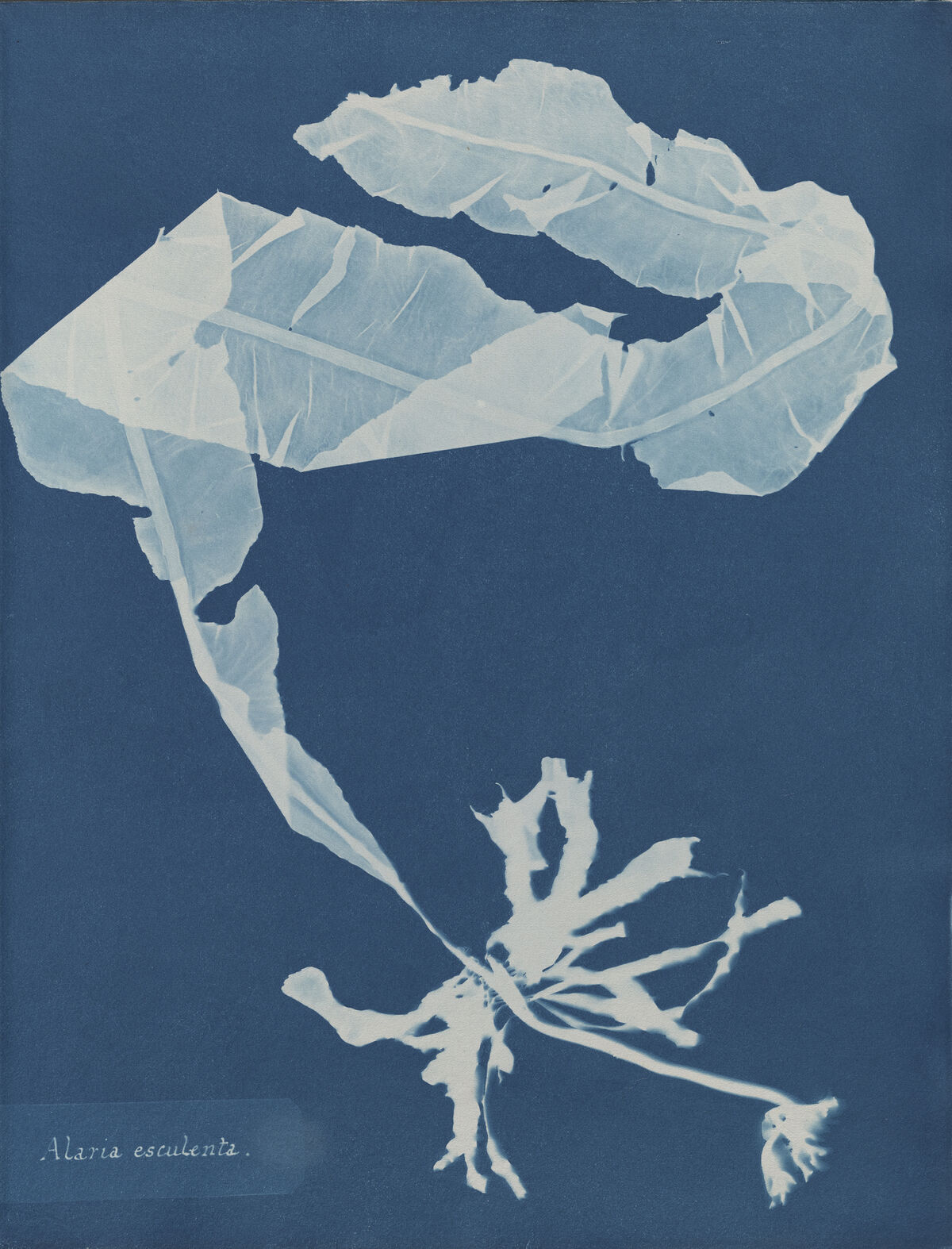 Anna Atkins, Alaria esculenta, from Part XII of Photographs of British Algae: Cyanotype Impressions, 1849-1850. Courtesy of The New York Public Library.