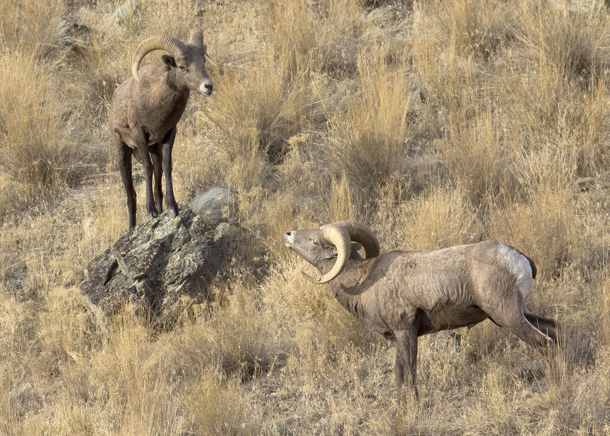 California bighorn sheep. Photo by Oregon Department of Fish and Wildlife.