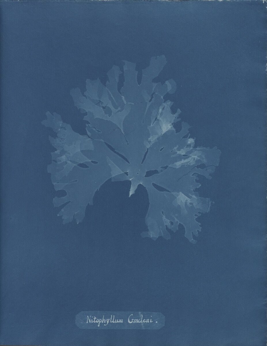 Anna Atkins, Nitophyllum gmeleni, from Part XI of Photographs of British Algae: Cyanotype Impressions, 1849-1850. Courtesy of The New York Public Library.