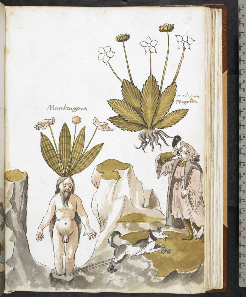 Giovanni Cadamosto's illustrated herbal, 15th century. ©British Library Board. Courtesy of New York Historical Society Museum & Library.