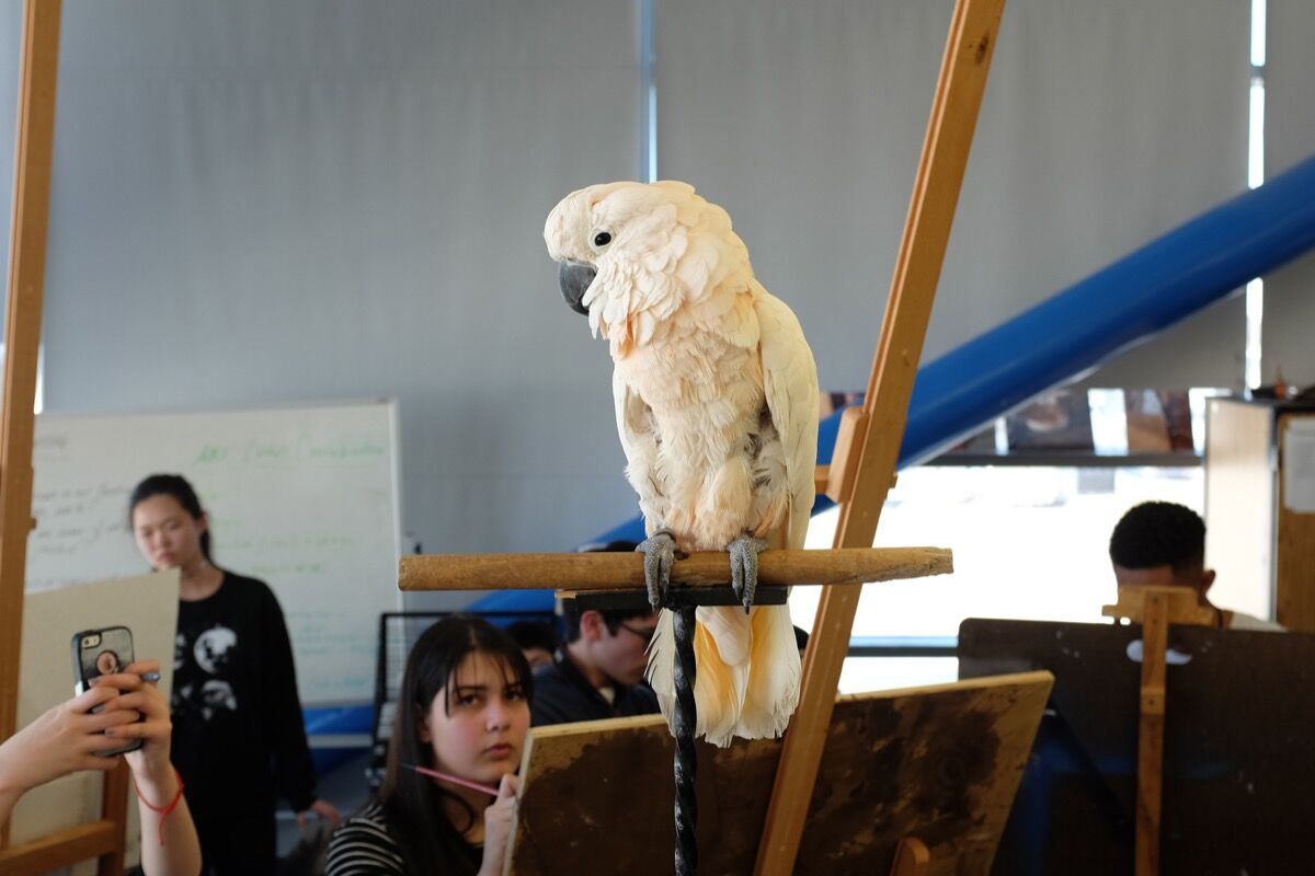 "A talking parrot from Pet Resources in the Bronx is drawn by students at the Frank Sinatra School of the Arts in Astoria, Queens, as part of ""Lenka Clayton and Jon Rubin: ...circle through New York."" Photo by Giacomo Francia, courtesy of the artists."