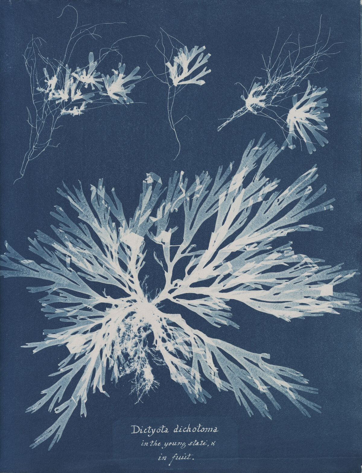 Anna Atkins, Dictyota dichotoma, in the young state & in fruit, from Part XI of Photographs of British Algae: Cyanotype Impressions, 1849-1850. Courtesy of The New York Public Library.