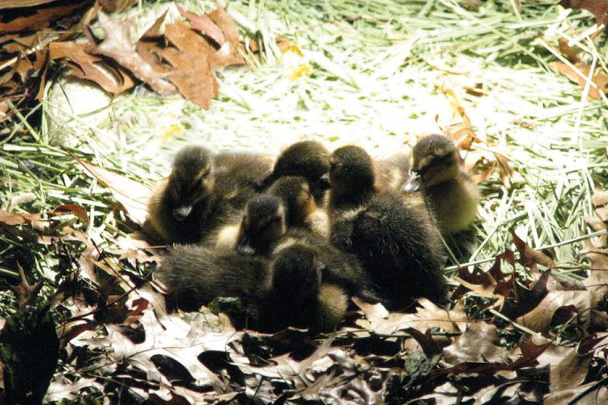 Martin Roth, In the fall of 2010 I raised 6 ducklings in my art studio. I later released the ducklings into the wild, 2010. Courtesy of the artist.
