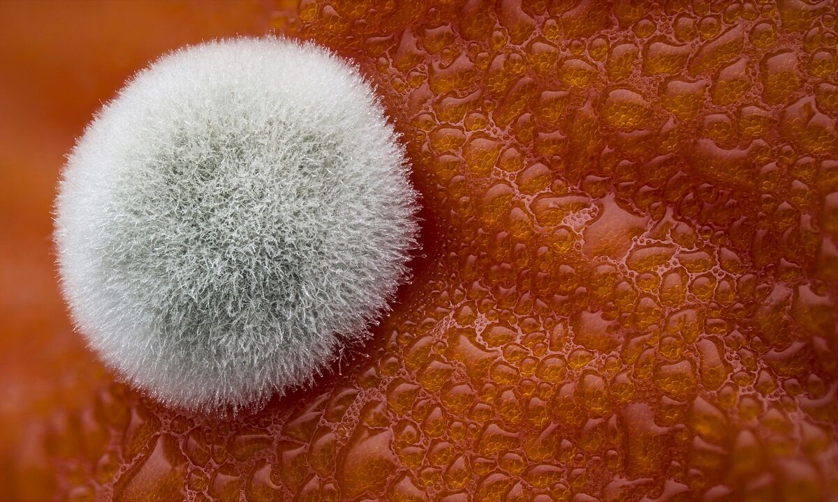 Dean Lerman, Mold on a tomato. Reflected Light, Focus Stacking. 3.9x. Courtesy of Nikon.