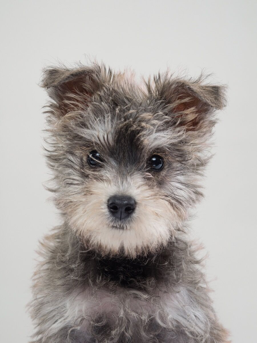 Portrait of Harper (Schnoodle). © Gerrard Gethings. Courtesy of Laurence King Publishing.