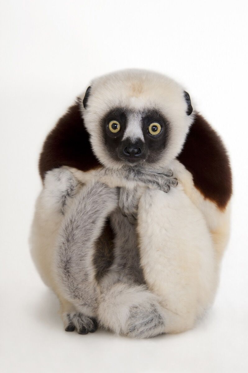A Coquerel's sifaka, Propithecus coquereli, at the Houston Zoo. Photo by Joel Sartore/National Geographic Photo Ark.