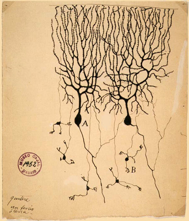 Santiago Ramón y Cajal, Drawing of Purkinje cells and granule cells from a pigeon cerebellum, 1899. Instituto Cajal, Madrid, Spain. Photo via Wikimedia Commons.