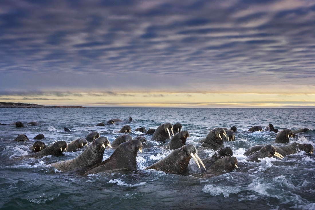 Paul Nicklen, Tusked Titans. Courtesy of Paul Nicklen Gallery.