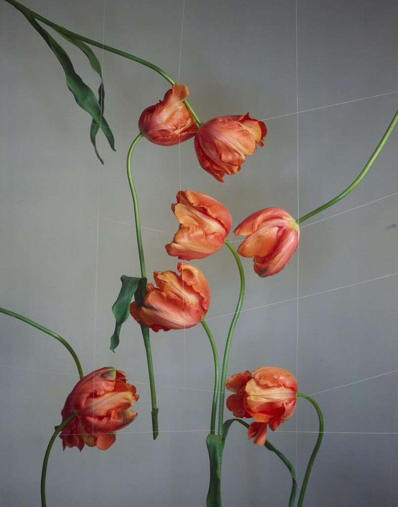 French Tulips with Cotton Grid