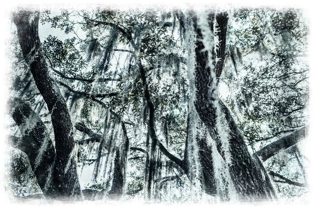 Oak Skies
