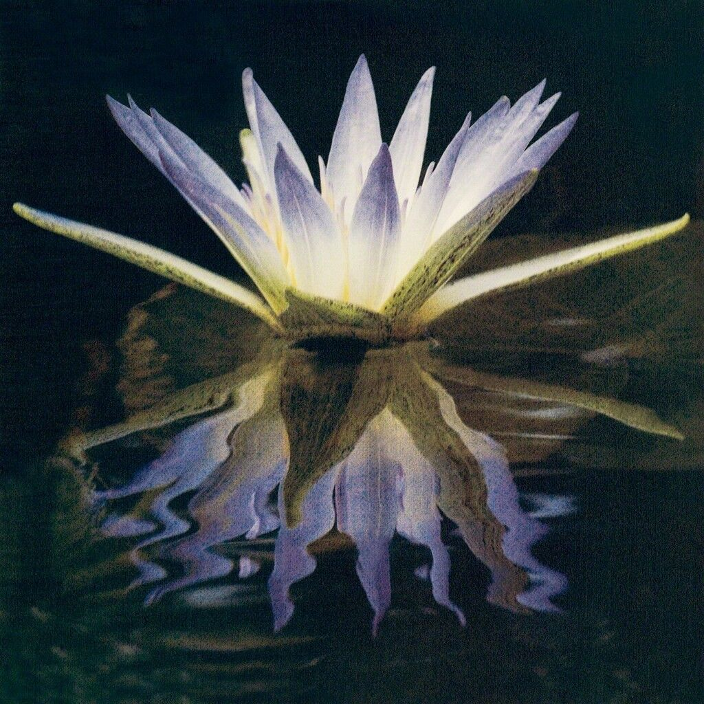 Blue Lotus Of The Nile
