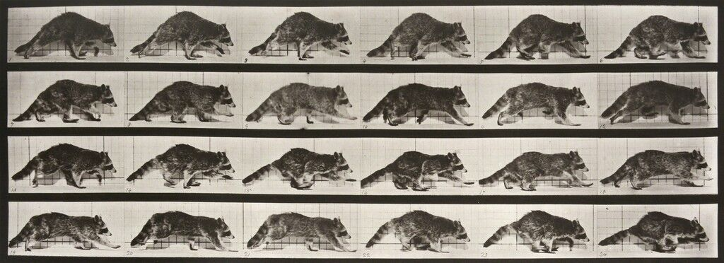 Animal Locomotion: Plate 744 (Raccoon Walking)