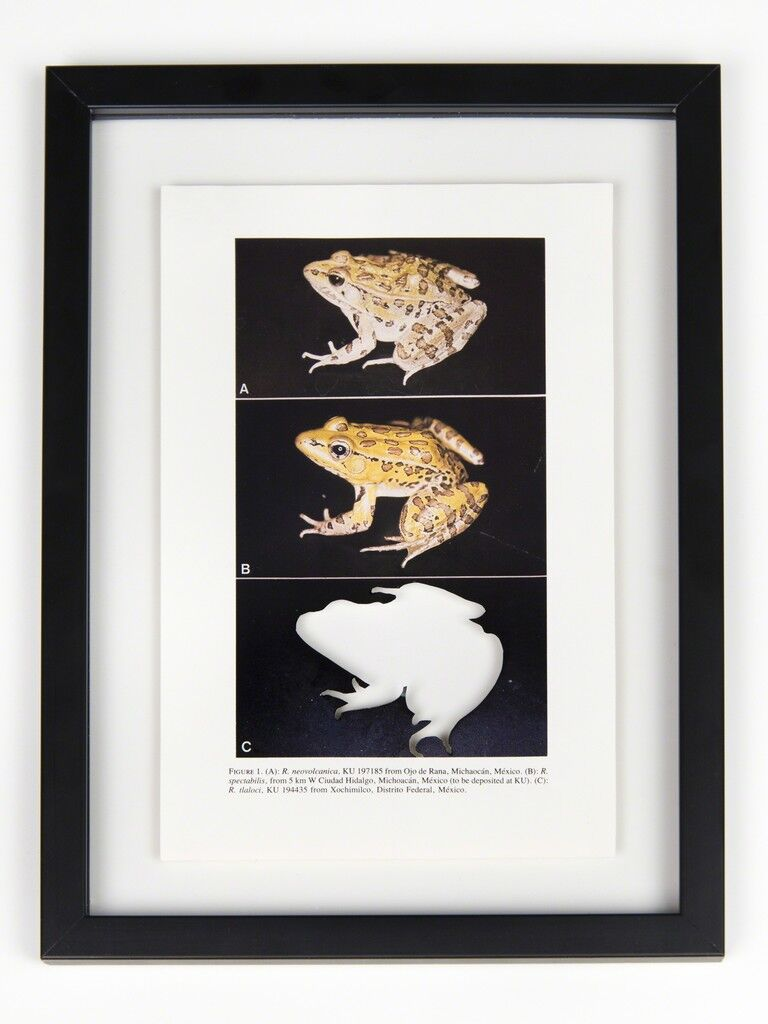 RIP Tlaloc's Leopard Frog: After David M. Hillis, 1985