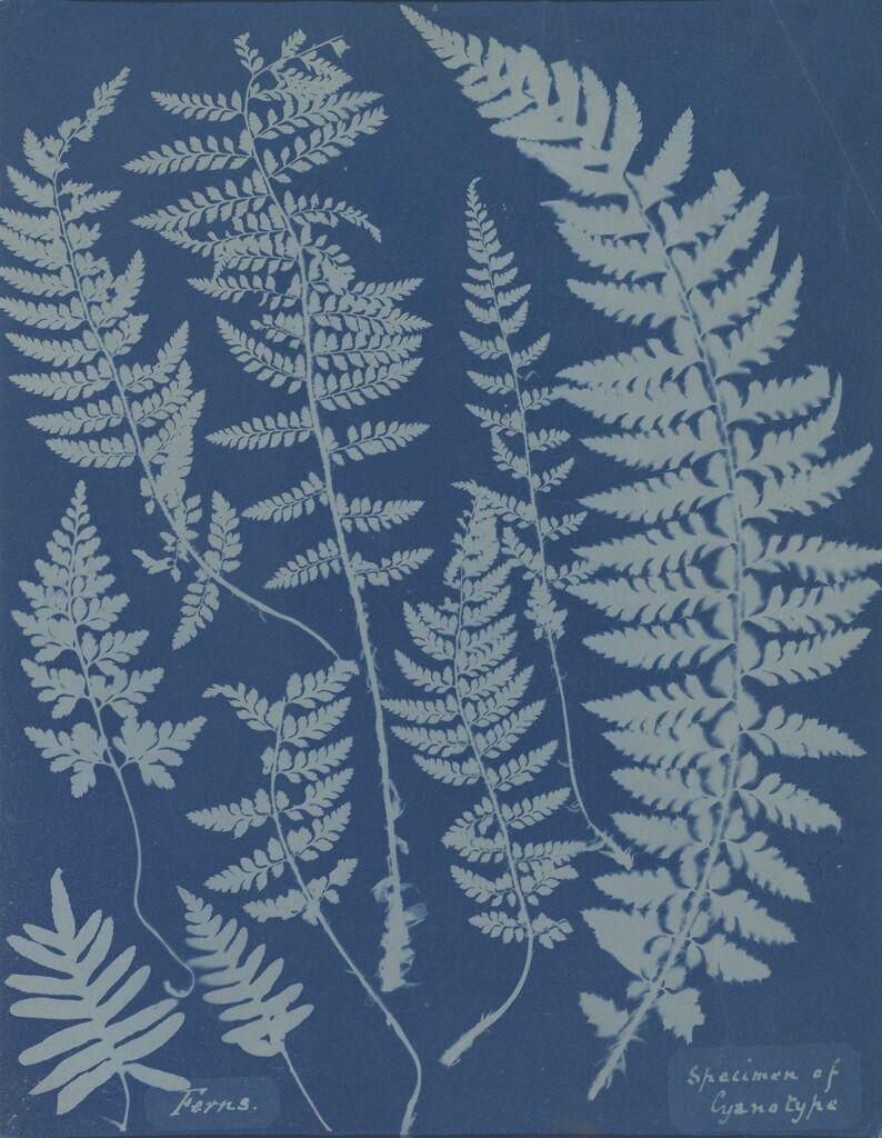 Ferns. Specimen of Cyanotype