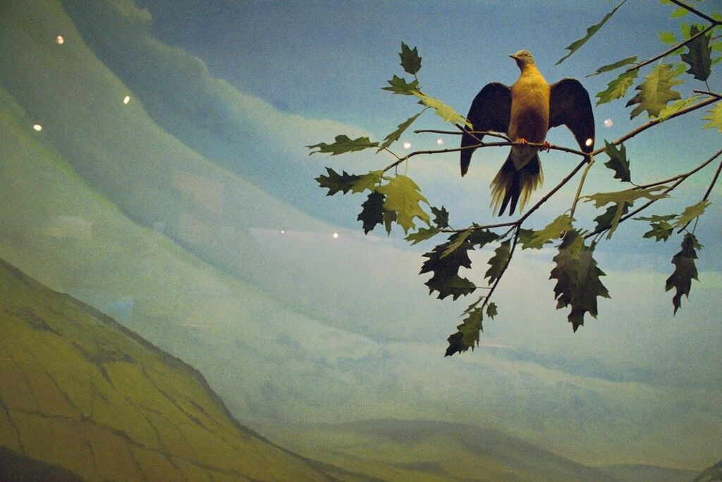 Extinct Passenger Pigeon Diorama, Rochester Museum and Science Center