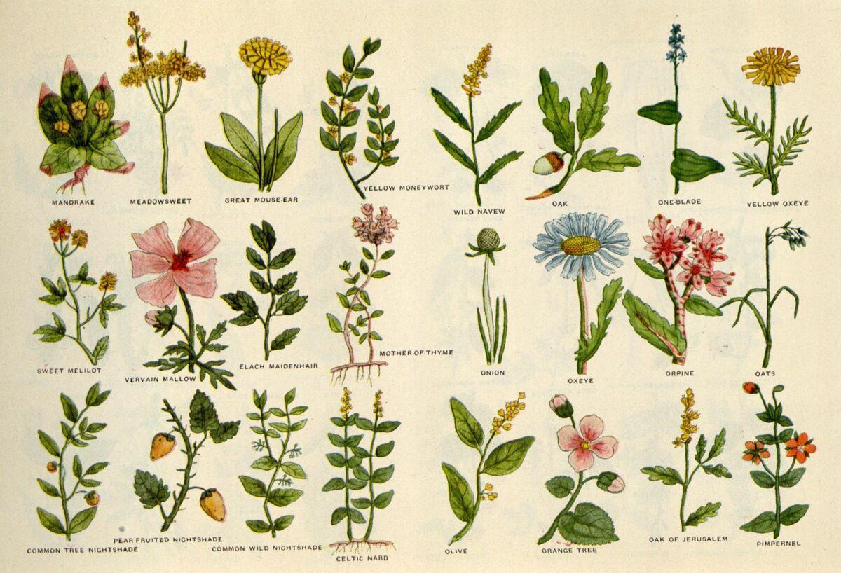 Culpeper's Complete Herbal, 1653, via Wikimedia Commons.