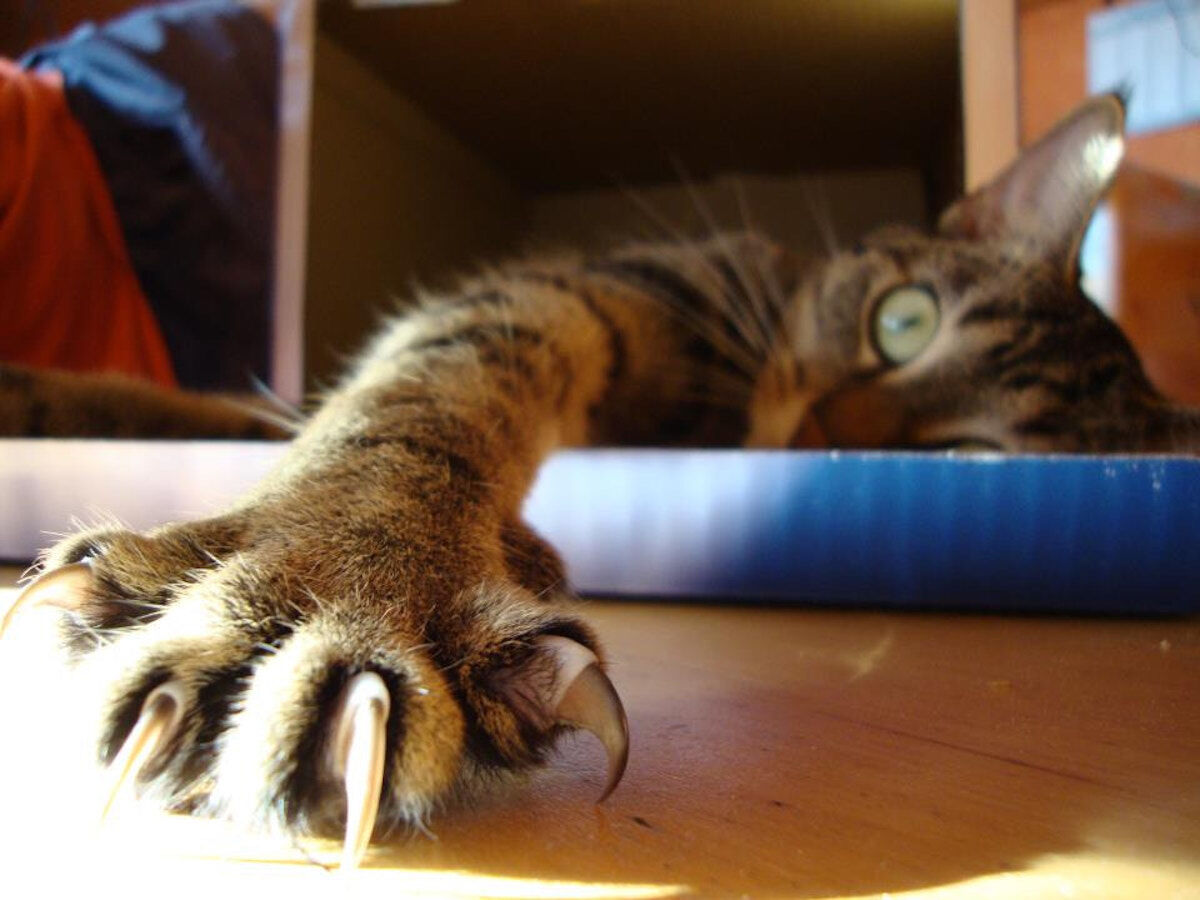 A cat (Bendor Grosvenor's cat Padme) shows off its claws. Photo by Fabian, via Wikimedia Commons.