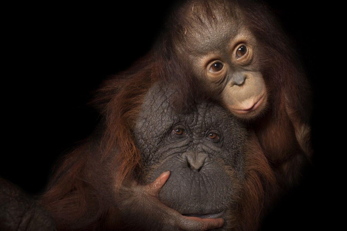 An endangered baby Bornean orangutan, Pongo pygmaeus, named Aurora, with her adoptive mother, Cheyenne, a Bornean/Sumatran cross, Pongo pygmaeus x abelii, at the Houston Zoo. Photo by Joel Sartore/National Geographic Photo Ark.