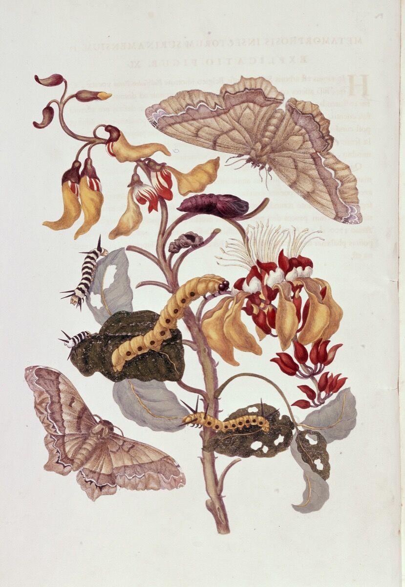 Maria Sibylla Merian, Metamorphosis Insectorum Surinamensium, 1705. © Museum für Gestaltung Zürich. Courtesy of the Museum für Gestaltung Zürich.