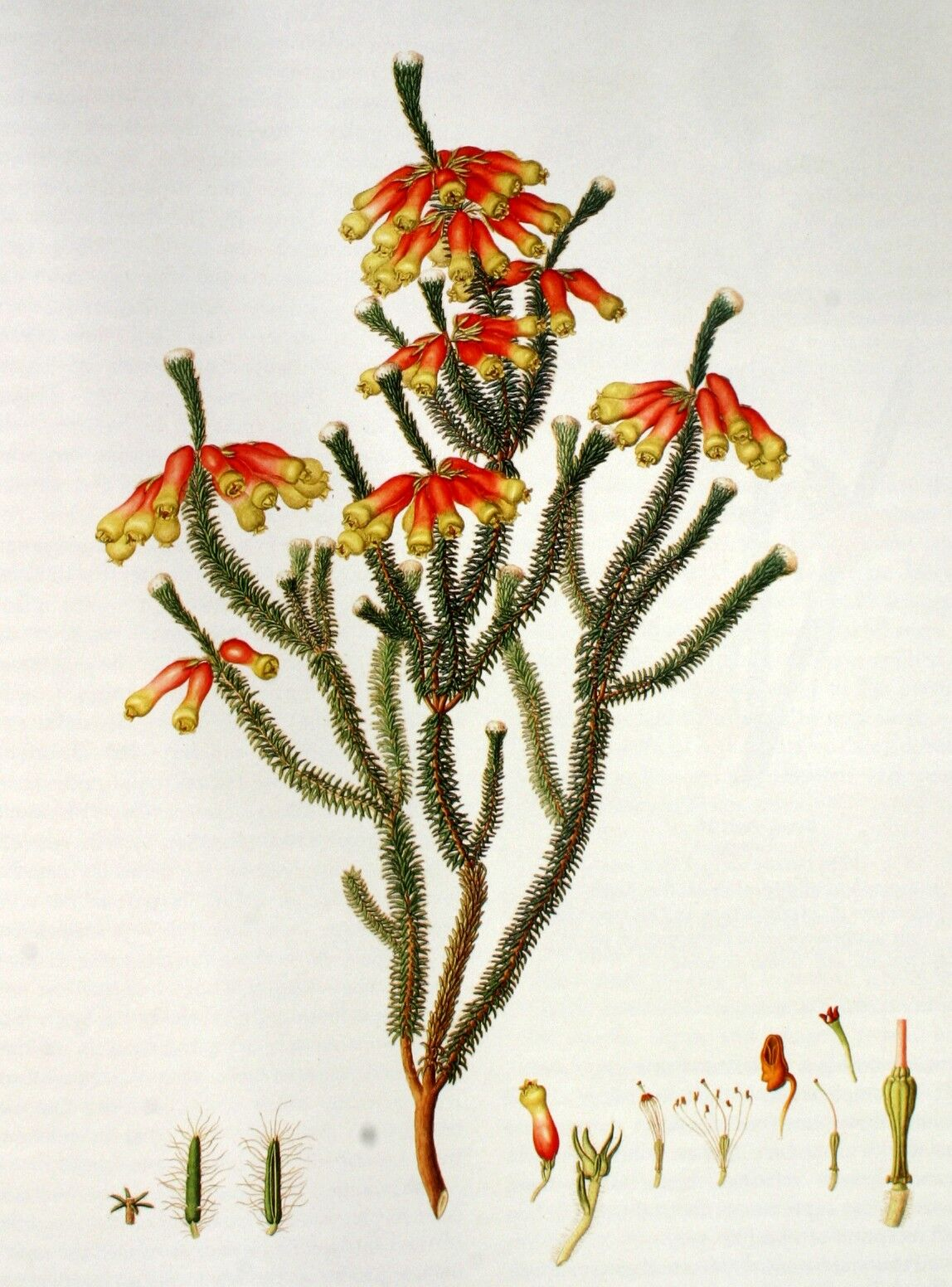 Erica massoni L.f., 1796-1803.