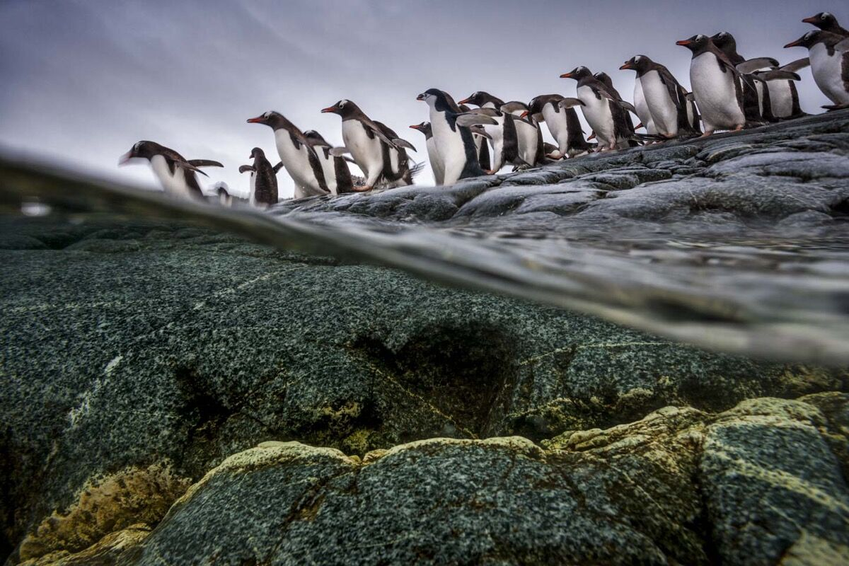 Paul Nicklen, Penguin Split. Courtesy of Paul Nicklen Gallery.