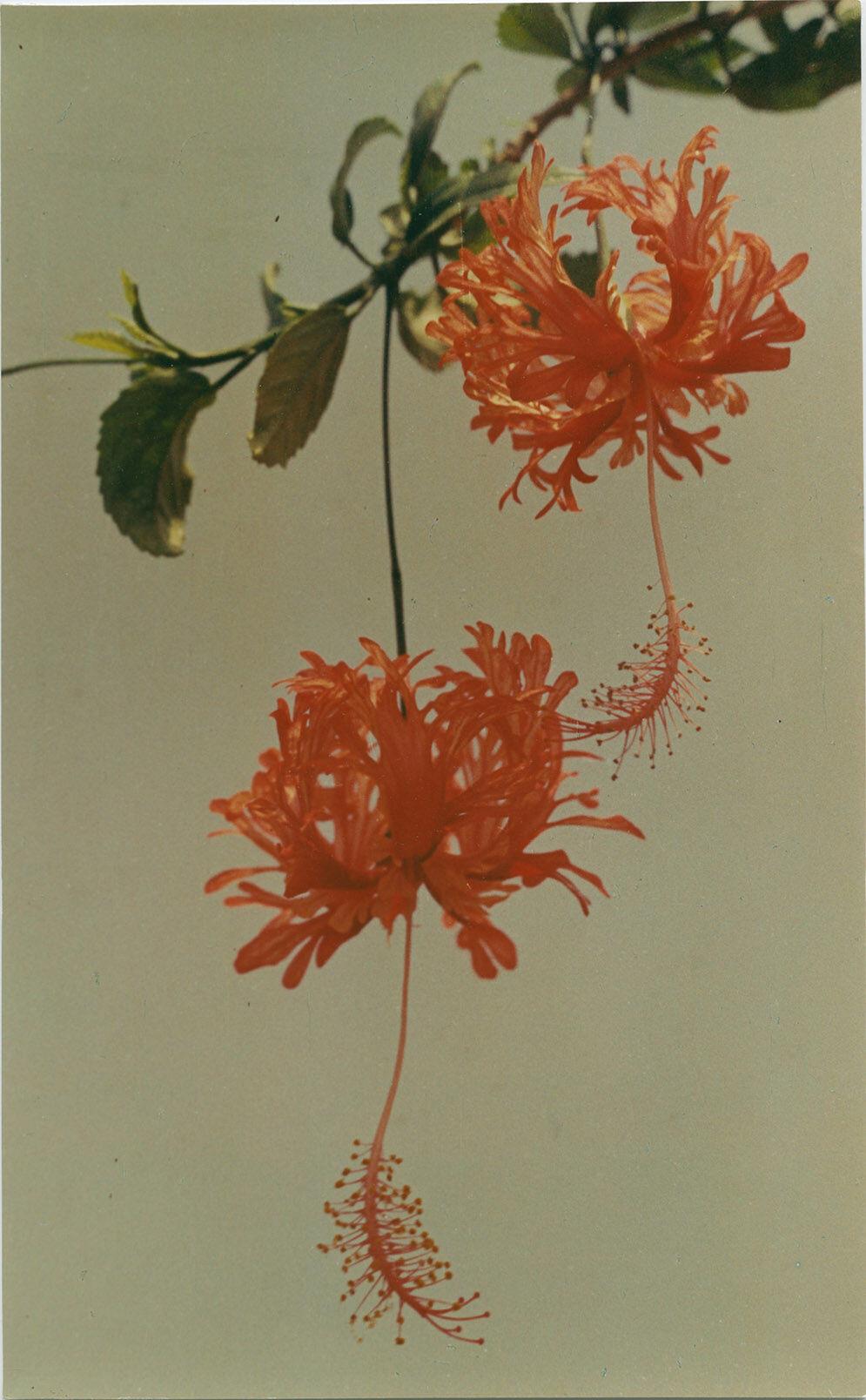 Yinxian Wu, Chinese Hibiscus 010, 1977. Courtesy of Lévy Gorvy.