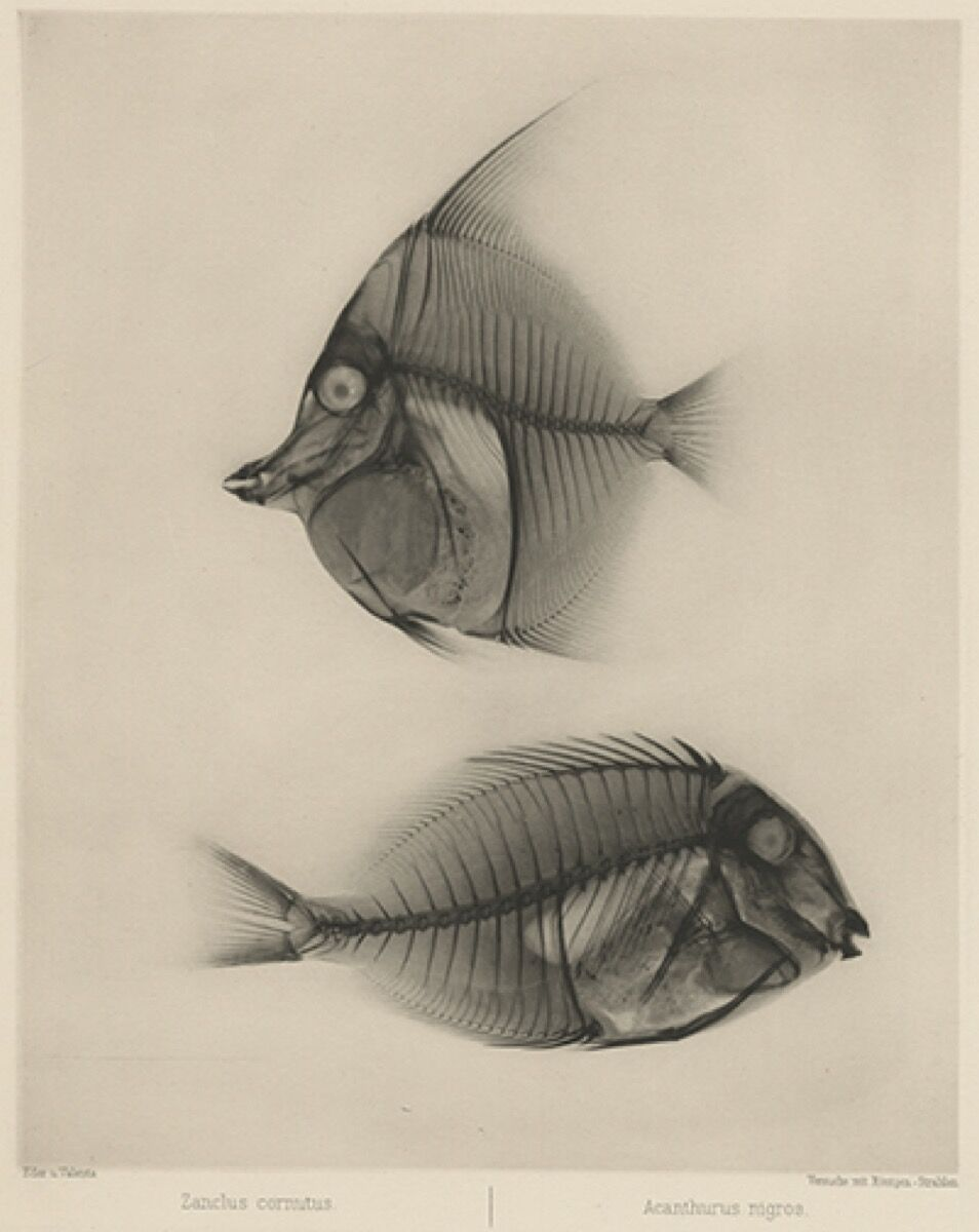 "Josef Maria Eder and Edward Valenta, IX ""Zanclus cornutus"" and ""Acanthurus nigros"" (moorish idol & surgeonfish), 1896. Courtesy of Hans P. Kraus, Jr., Inc."