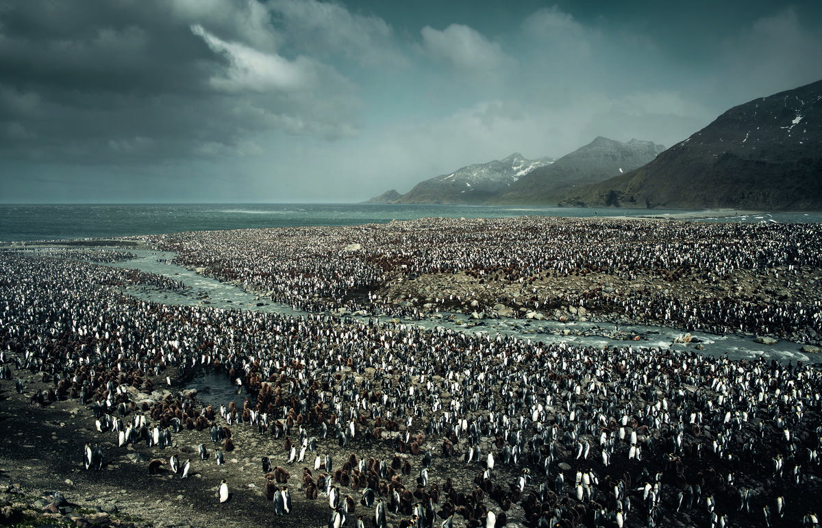 King penguin colony, Saint Andrews Bay, South Georgia Island, South Atlantic Ocean, Antarctica. © Peter & Beverly Pickford, from Wild Land by Peter & Beverly Pickford.