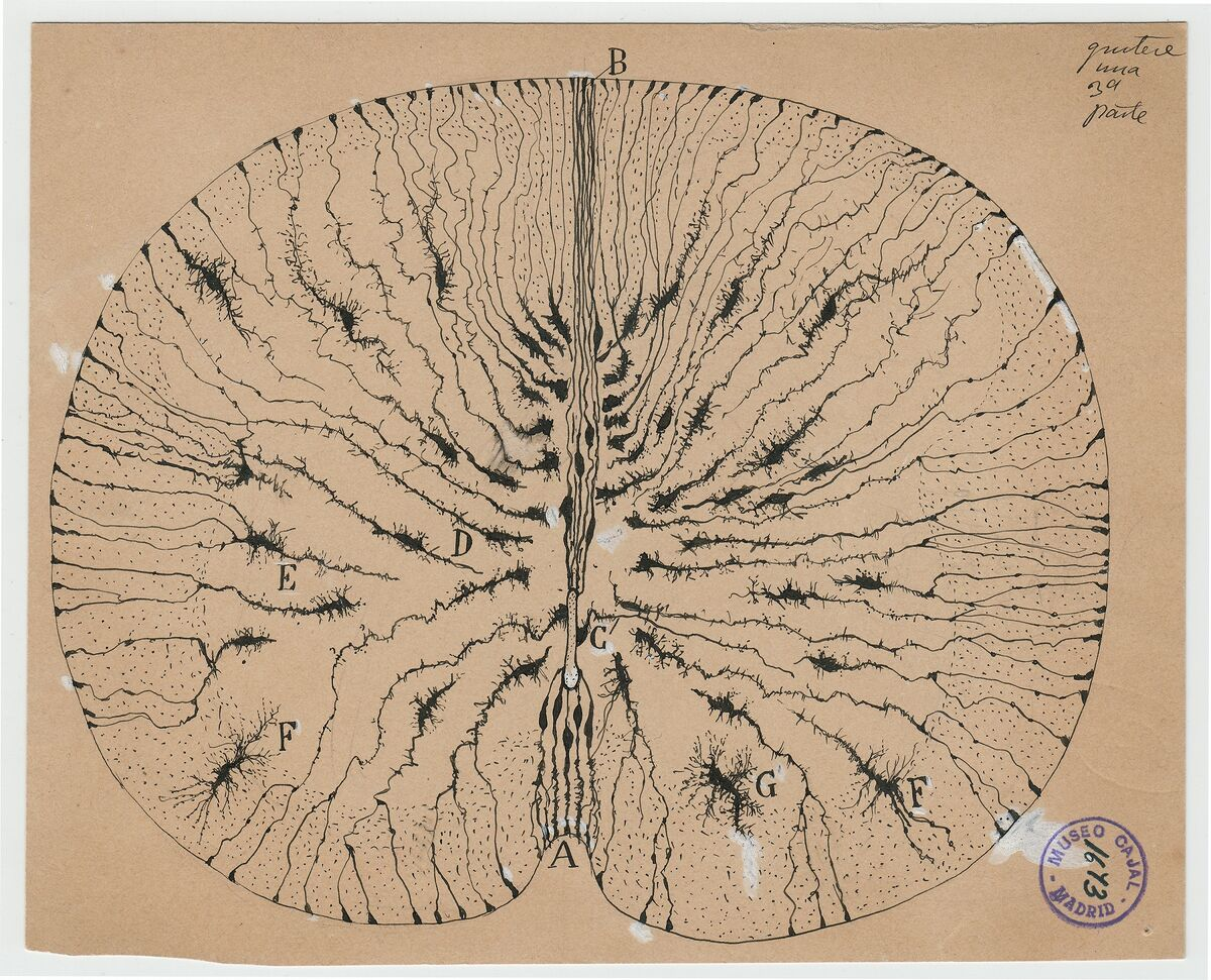 Santiago Ramón y Cajal, Glial cells of the mouse spinal cord, 1899. Courtesy of Cajal Institute (CSIC), Madrid.