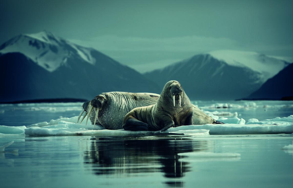 Walruses on ice floe, Andøyane archipelago, Woodfjorden, Spitsbergen, Svalbard, Norway. © Peter & Beverly Pickford, from Wild Land by Peter & Beverly Pickford.