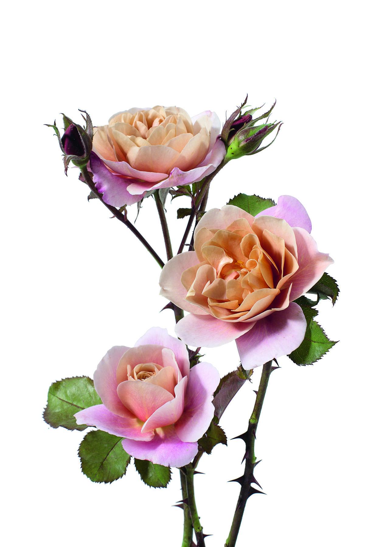 Rose. Courtesy of Phaidon.
