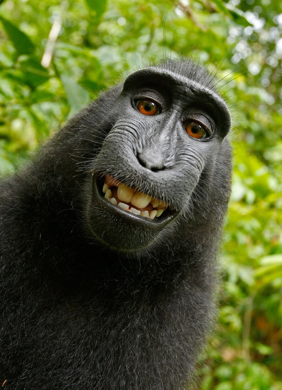Self-portrait of a macaque, 2015. Image via Wikimedia commons.