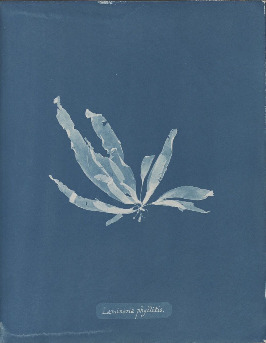 Anna Atkins, Laminaria phyllitis, from Part V of Photographs of British Algae: Cyanotype Impressions, 1844-1845. Courtesy of The New York Public Library.