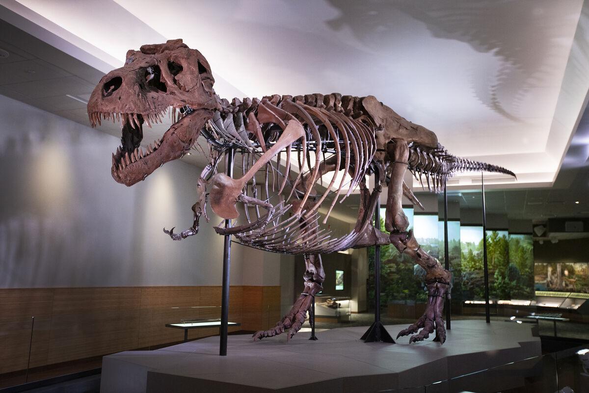 Sue, the world's most complete tyrannosaurus rex. Photo by Martin Baumgaertner. © 2018 Field Museum.