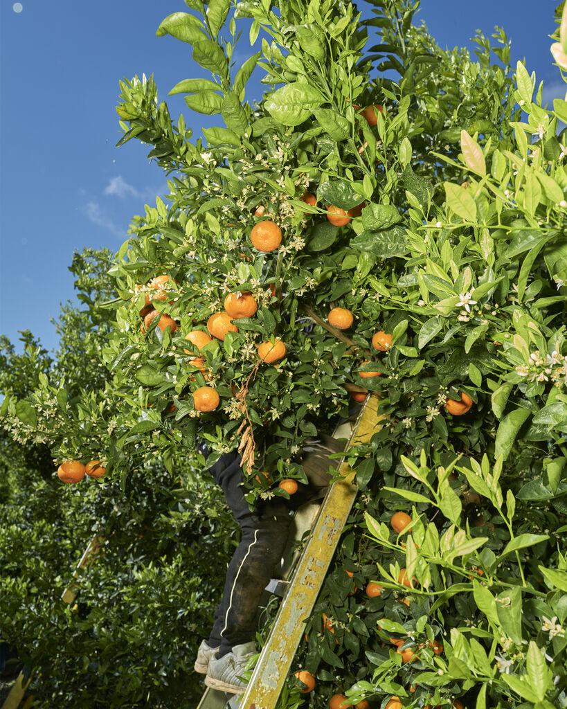 Tangerines #XII